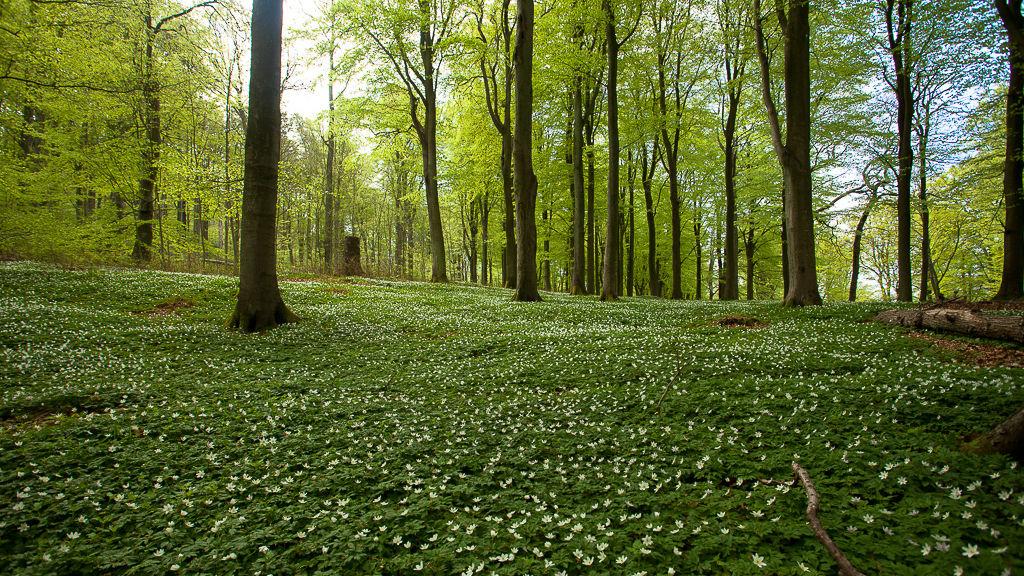 I maj kläs golvet i de stora salarna i bokskogen norr om Brösarp med vitsippor.
